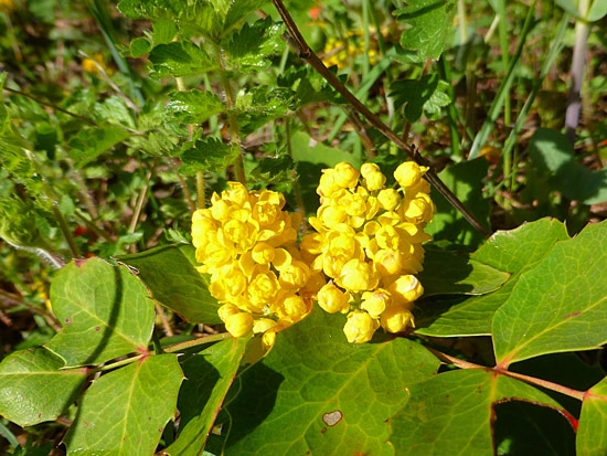 Protrails wildflowers of the colorado front range photo gallery oregon grape is a low growing evergreen shrub that produces yellow flowers in late spring and purple ish sour tasting berries in the fall mightylinksfo Gallery