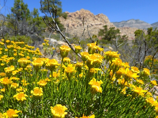 Protrails Wildflowers Of Red Rock Canyon And The Mojave