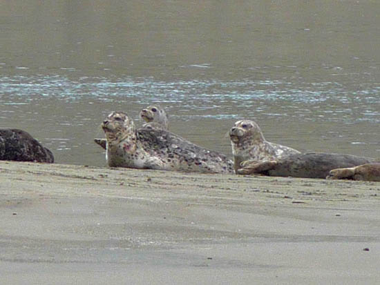 Harbor Seals rest on Limantour Spit on their way from the ocean to Drakes Estero