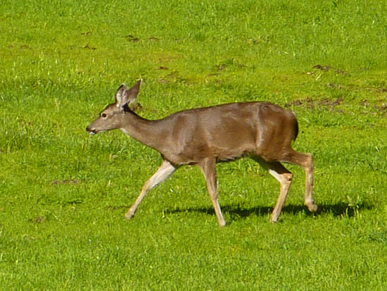A young mule deer grazes in open meadow along the Earthquake Trail