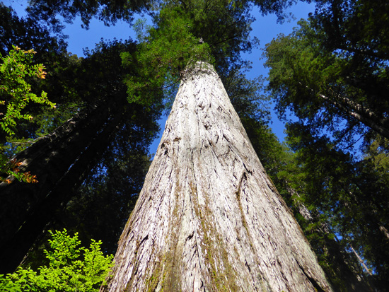 Some of the world's largest redwoods are found along the James Irvine Trail
