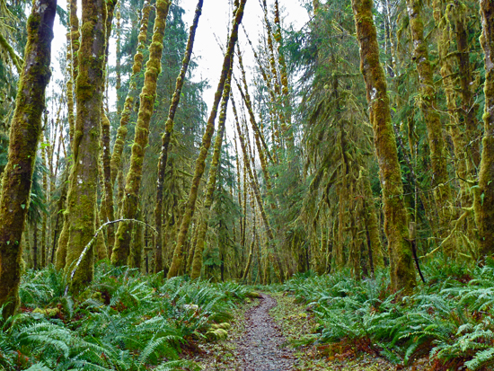 The Wetlands Loop Trail cuts through Red alder bottomlands