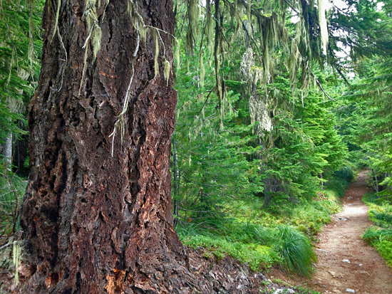 The Rampart Ridge Loop showcases enormous old growth Douglas fir and Western Ceder