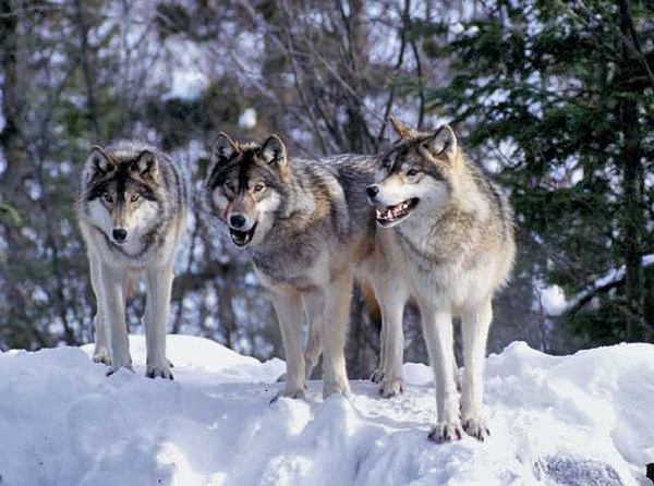 an introduction to wolves and their habitat The value of red wolf conservation compiled by the red wolf coalition september their predator-related roles in their ecosyst em, enhancing diversity the introduction of the red wolf, once declared functionally.