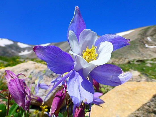 The Columbine Was Adopted As Colorado State Flower On April 4 1899 It S A Notoriously Hardy That Can Tolerate Extreme Weather And Depleted Soil