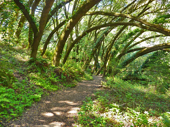 The Dipsea Trail Pes Through A Varied Forest To Stunning Ocean Views