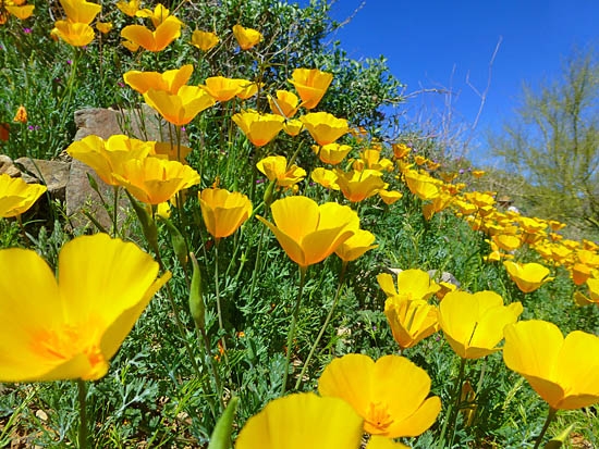 Poppy covered hillsides on the Sonoran Trail