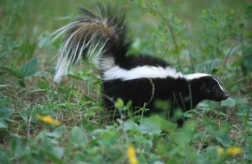 Striped Skunk Food Diet